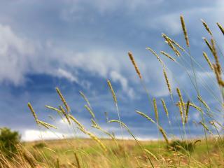 обои Пшеница на лугу фото