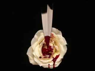 обои Белая роза и кинжал в крови фото