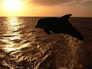 обои Дельфин,   море и закат фото