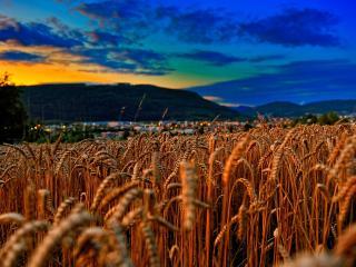 обои Ржаное поле на фоне гаснущего дня фото