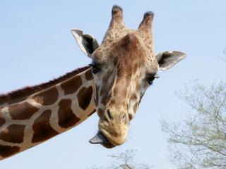 обои для рабочего стола: Портрет жирафа с языком