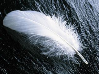 обои Белое перо на дереве фото