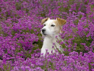 обои Собачка среди цветов фото