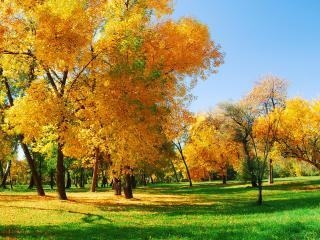 обои Деревья с желтой листвой и зеленая трава фото