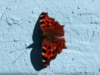 обои Бабочка на стене фото