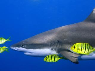 обои Акула и рыбки в море фото