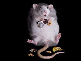 обои Толстая крыса со сладостями фото