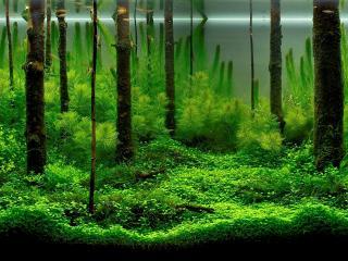 обои Зеленые водоросли аквариума фото