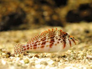 обои Аквариумная рыбка скучает в одиночестве на дне аквариума фото