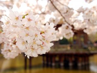 обои Нежность весеннего цветения вишен фото