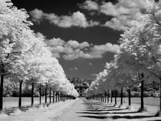 обои Аллея с белыми деревьями по боках фото