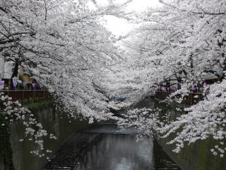 обои Водоем потопающий в цветении весенней сакуры фото