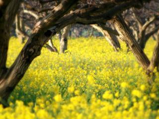 обои Желтое цветение между весенними деревьями фото