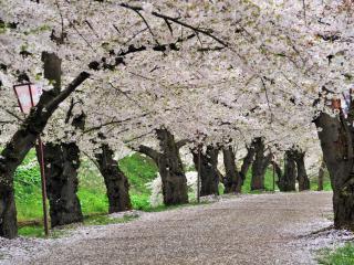 обои Опавший цвет на дороге цветущих деревьев фото