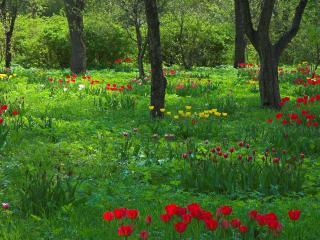 обои Островки цветущих тюльпанов фото