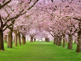 обои Ровные ряды весенних деревьев парка фото