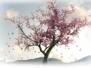 обои Сакура в конце цветения фото