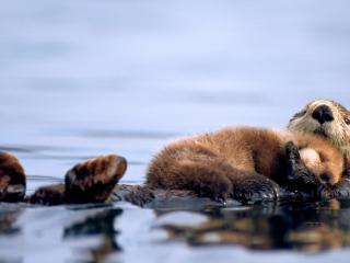 обои Морская выдра с малышом фото
