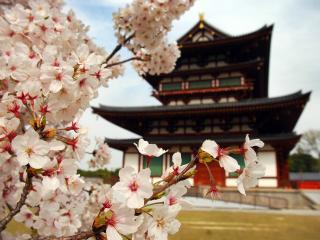 обои Цветение сакуры у китайского дома фото