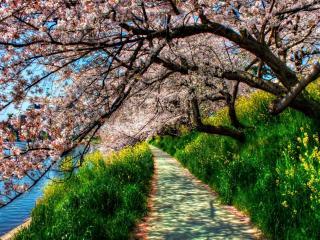 обои Тропа у озера обсаженная цветущей сакурой фото