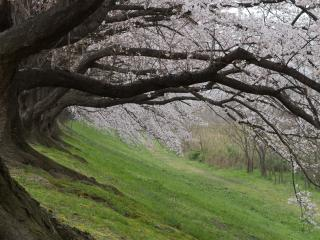 обои Цветущие сакуры на склоне холма, весна фото