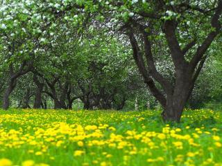 обои Весенний яблочный сад и цветущие одуванчики фото