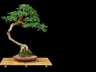 обои Бонсай, дерево на бамбуковой подставке фото