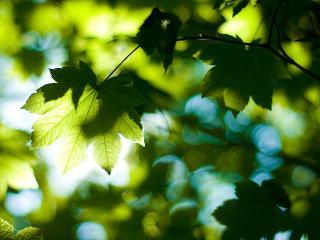 обои Клиновые листья в лучиках солнца фото