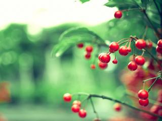 обои Красные плоды кустарника фото