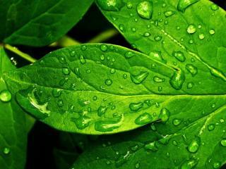 обои Мокрые листья пиона фото