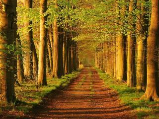 обои Зеленая аллея в лесопосадке фото