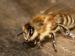 обои Пчела в близи фото