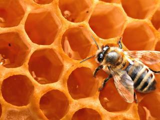 обои Пчела на сотах фото