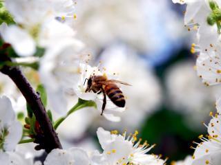 обои Пчела на цветущей ветке вишни фото