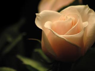 обои Свечение кремовой розы в темноте фото