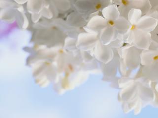 обои Сирень белая весенняя нежность фото