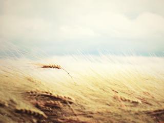 обои Нежность колоска пшеницы фото