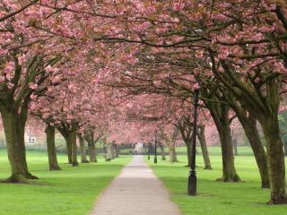 обои Парк цветущей сакуры фото