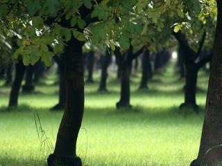 обои Ровные ряды зеленых насаждений фото