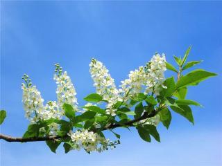 обои Черёмуха - признак весны фото