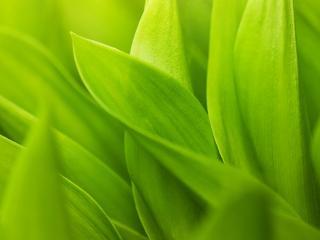 обои Зеленые листья ландышей фото