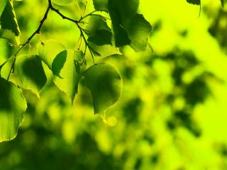 обои Зеленые листья липы фото