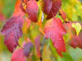 обои Красные листья декоративного дерева фото