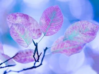 обои Листья необычно фиолетового цвета фото