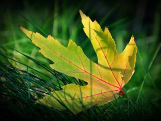 обои Пожелтевший лист на траве фото