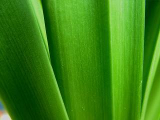 обои Пучок шыроких листьев фото