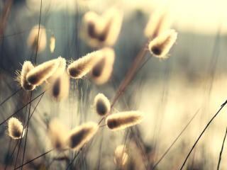обои Пушистые колоски  травы фото