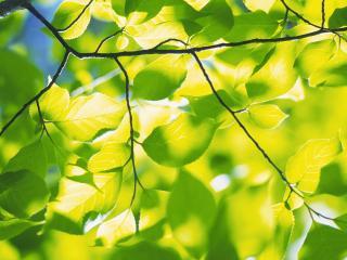 обои Свежая весенняя листва фото