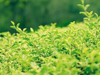 обои Листья чайных насаждений фото