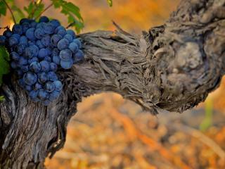 обои Старая лоза винограда со зрелой гроздью фото